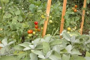 apéro tomatoes