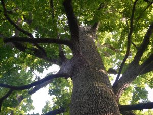 chênes tri centenaires de Tronçais grange floriejean
